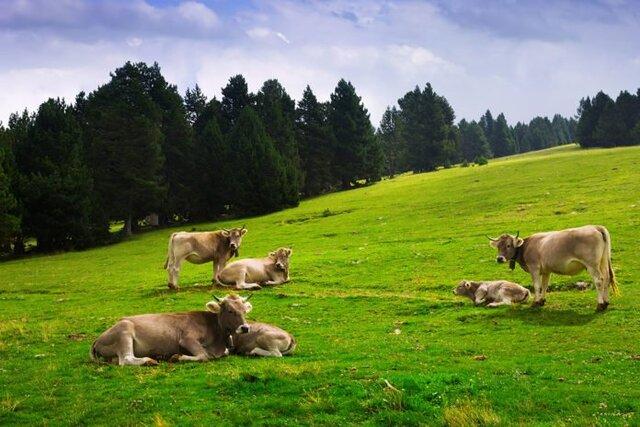 گاوها در مورد غذا و آب و هوا با یکدیگر صحبت میکنند