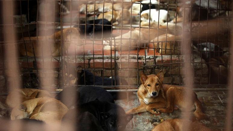 تجارت پرسود گوشت سگ در ویتنام؛ دستگیری یک زوج برای مسموم کردن دهها سگ و گربه