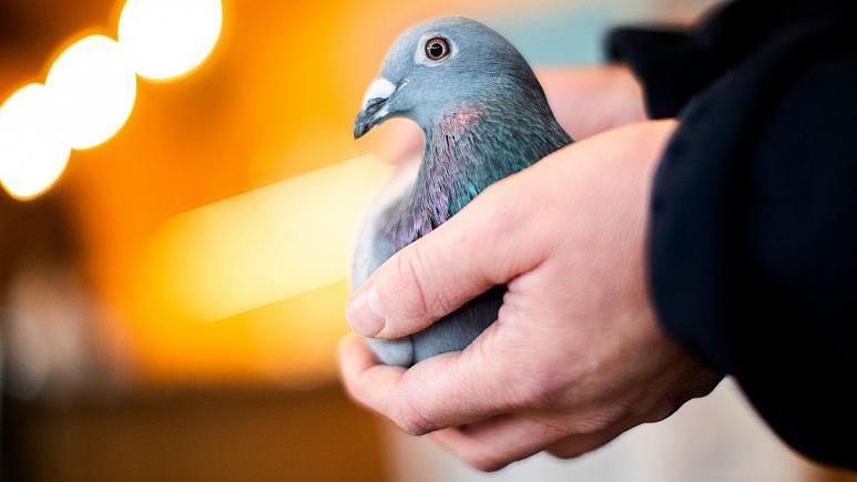 کبوترباز چینی کبوتر بلژیکی را ۱.۶ میلیون یورو خرید