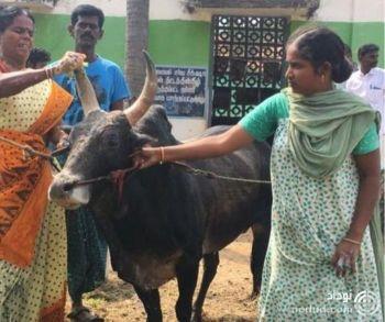 ازدواج خانم 48 ساله با گاو 18 ساله پولدار + عکس